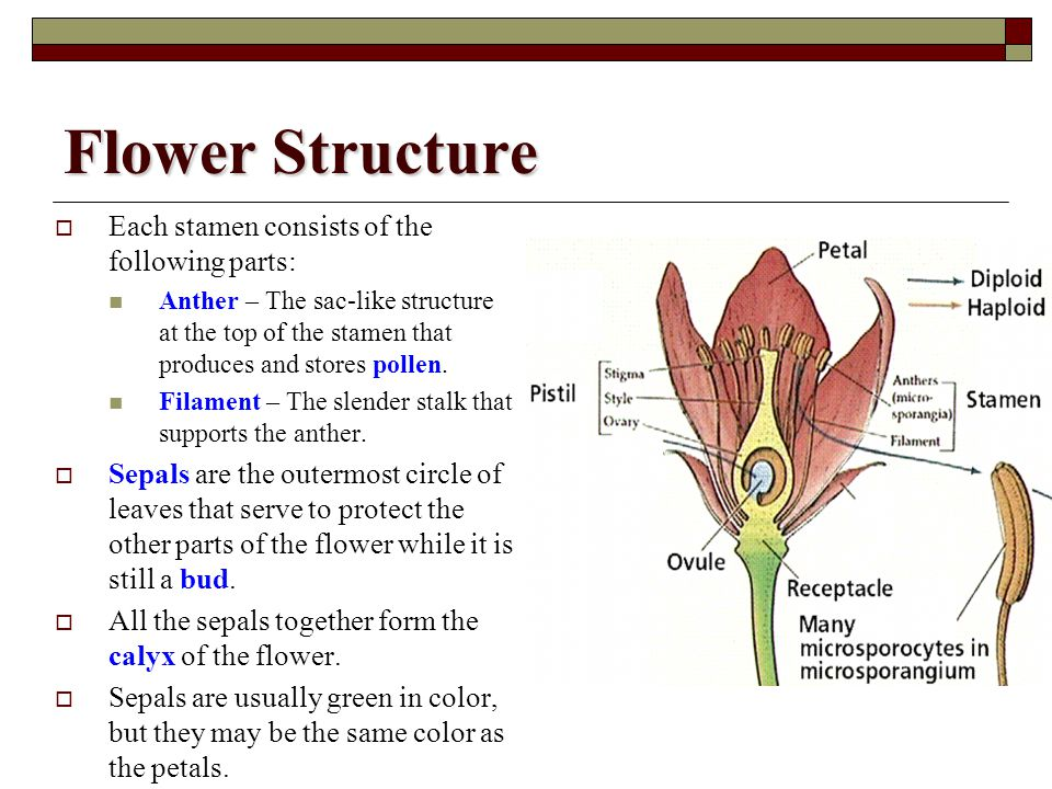 Flower Structure Each stamen consists of the following parts: