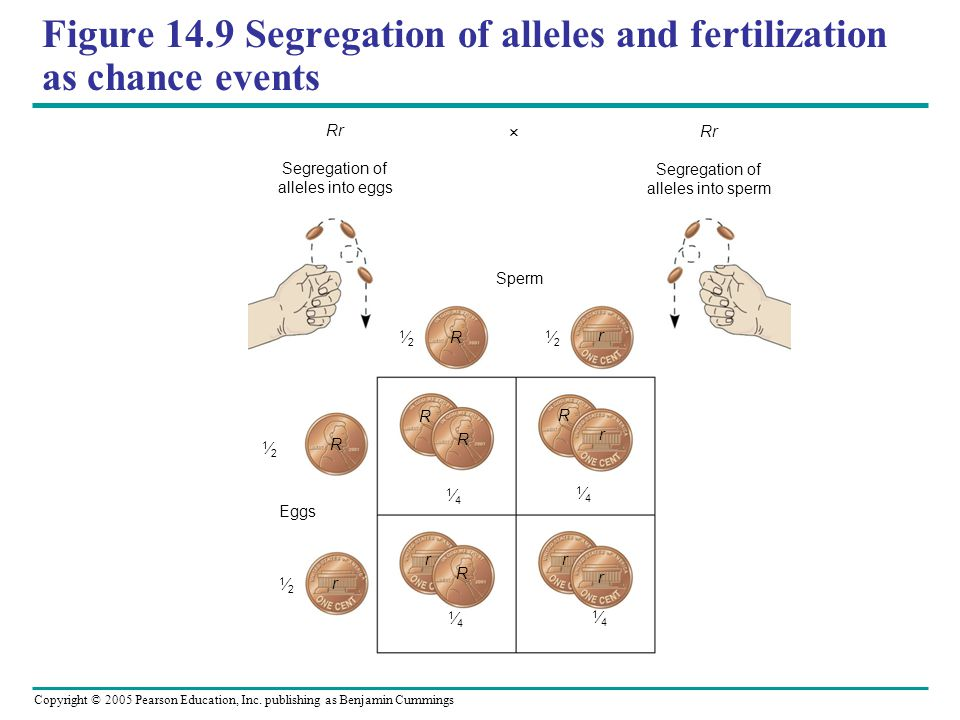 Figure 14.9 Segregation of alleles and fertilization as chance events