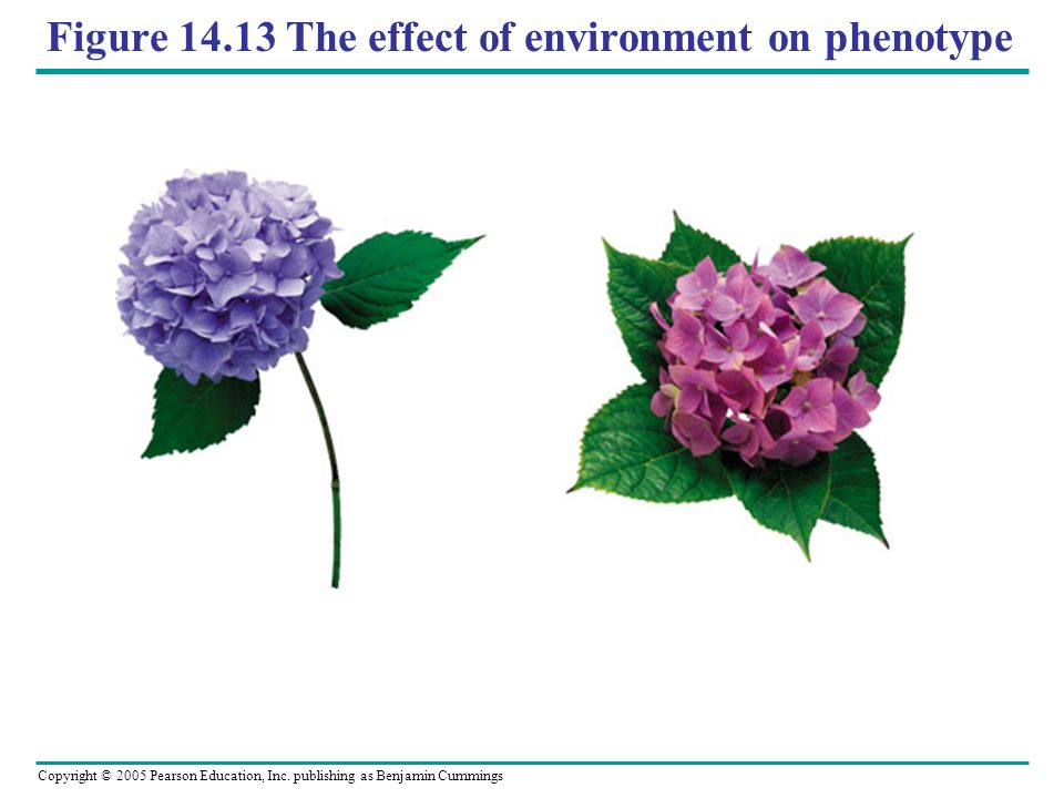 Figure 14.13 The effect of environment on phenotype