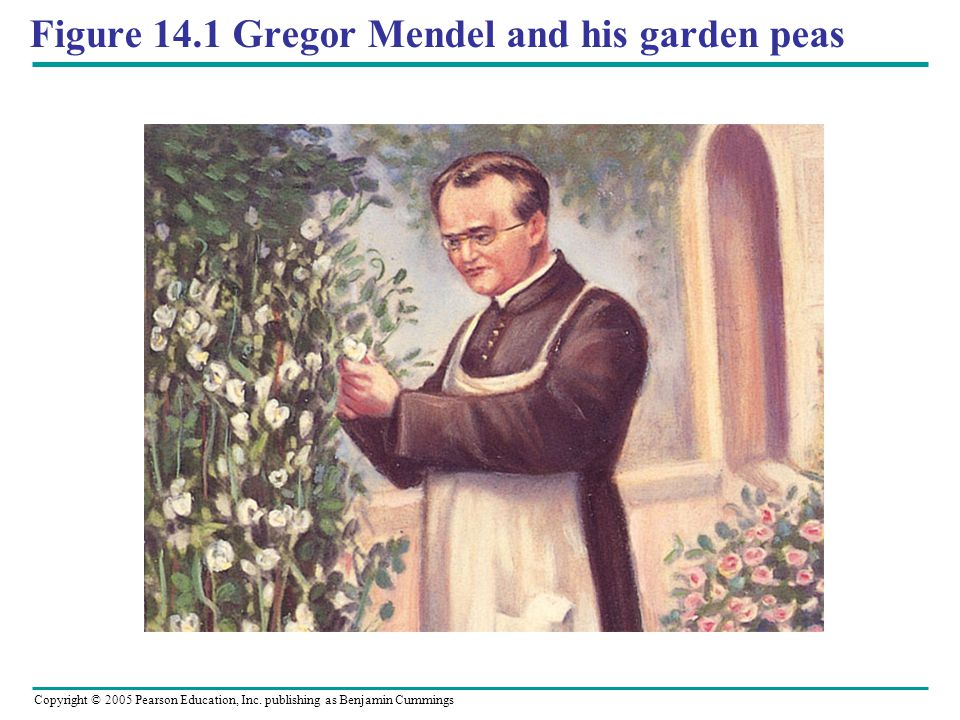 Figure 14.1 Gregor Mendel and his garden peas