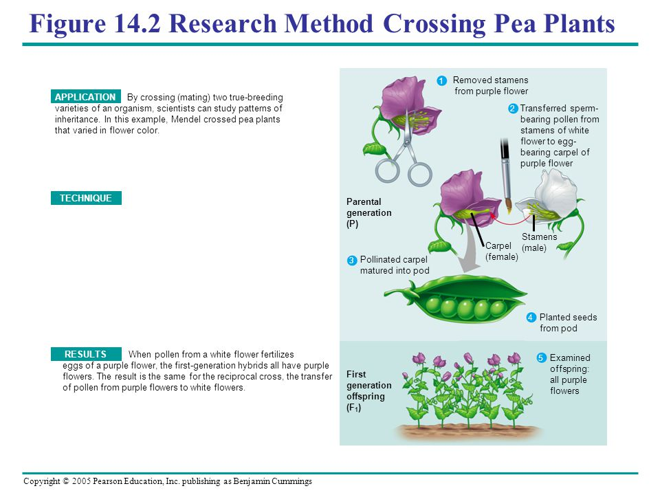 Figure 14.2 Research Method Crossing Pea Plants