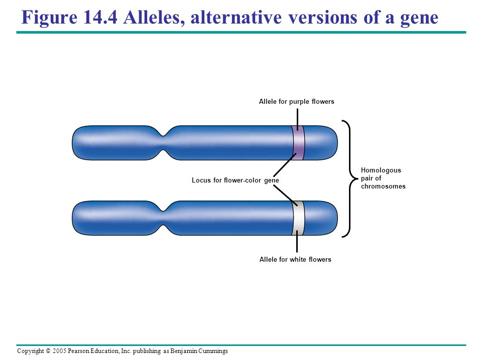 Figure 14.4 Alleles, alternative versions of a gene