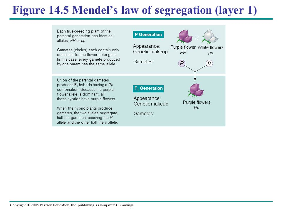 Figure 14.5 Mendel's law of segregation (layer 1)