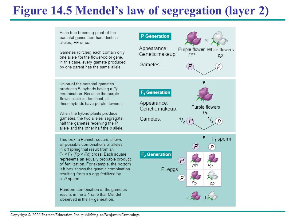 Figure 14.5 Mendel's law of segregation (layer 2)