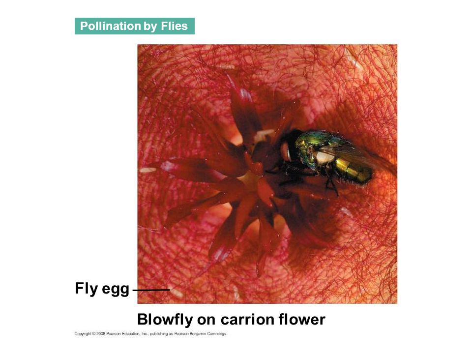 Blowfly on carrion flower