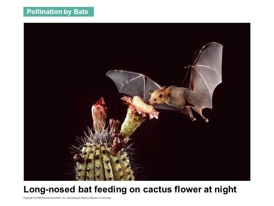 Long-nosed bat feeding on cactus flower at night