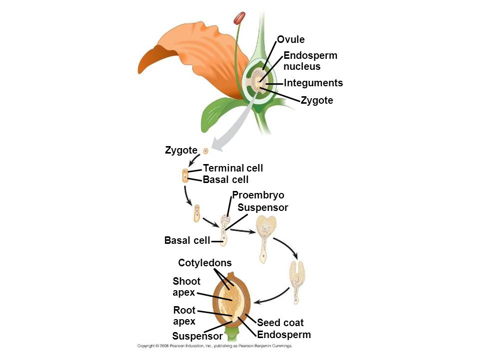Ovule Endosperm nucleus Integuments Zygote Zygote Terminal cell