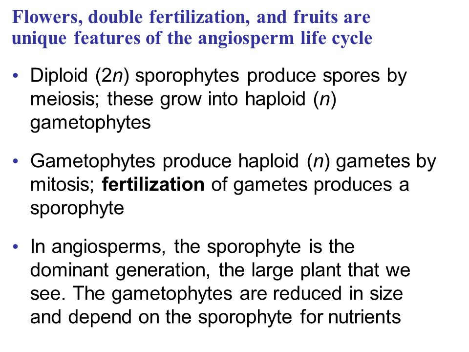 Flowers, double fertilization, and fruits are unique features of the angiosperm life cycle
