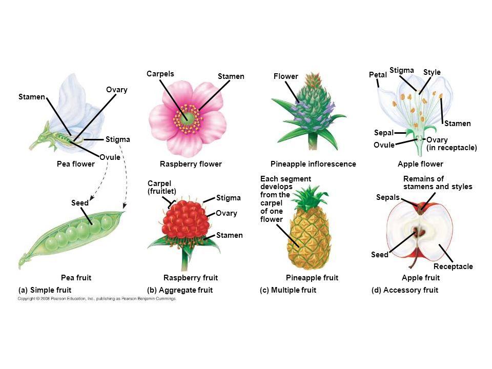 Figure 38.10 Developmental origin of fruits