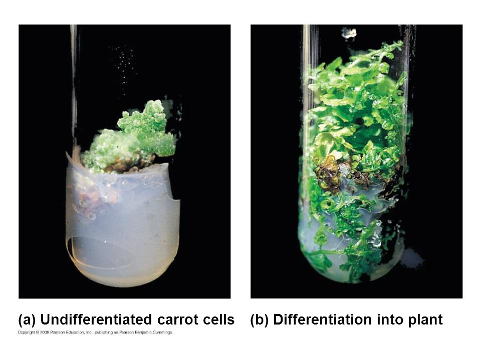 (a) Undifferentiated carrot cells (b) Differentiation into plant