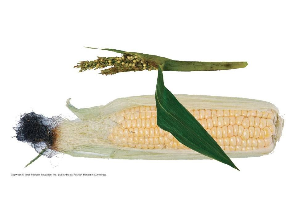Figure 38.16 Maize: a product of artificial selection