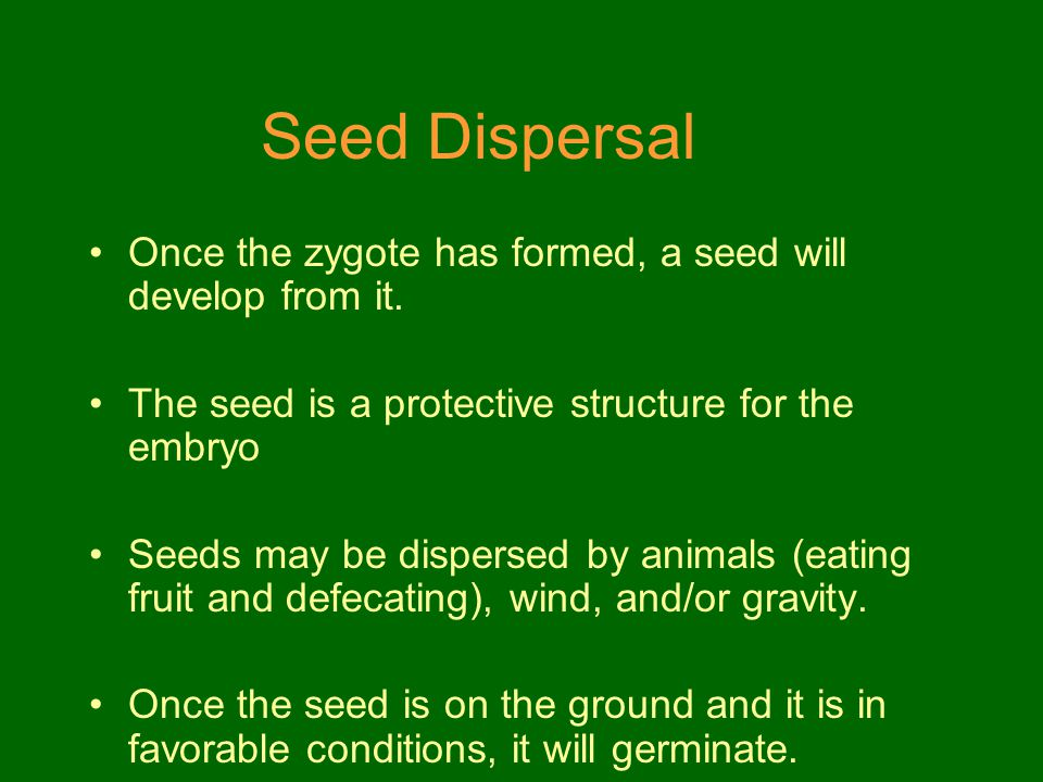 Seed Dispersal Once the zygote has formed, a seed will develop from it. The seed is a protective structure for the embryo.