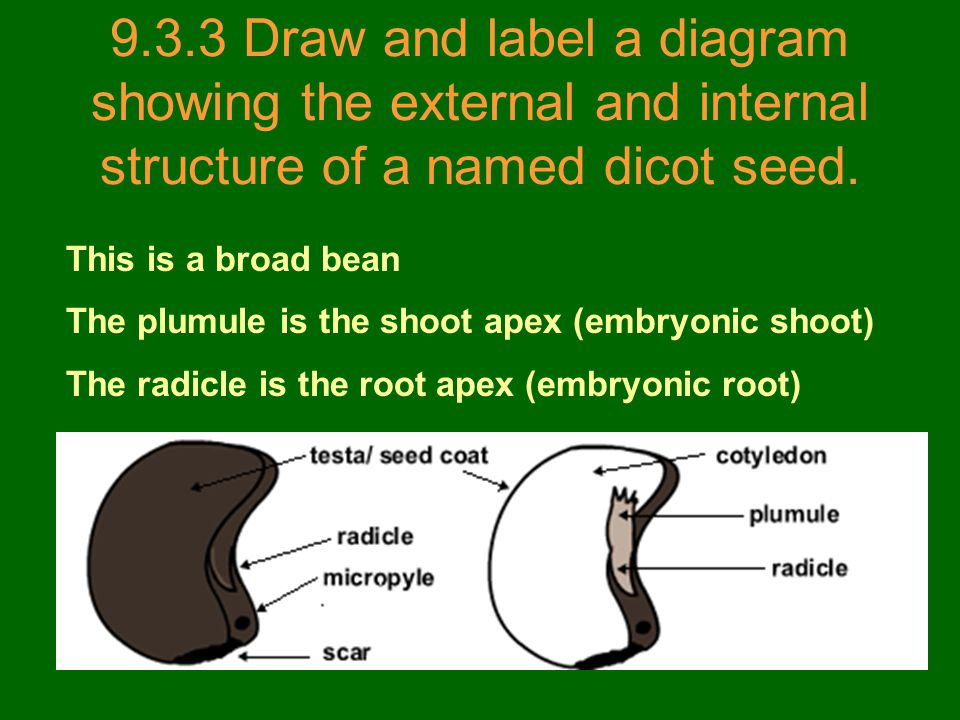 9.3.3 Draw and label a diagram showing the external and internal structure of a named dicot seed.