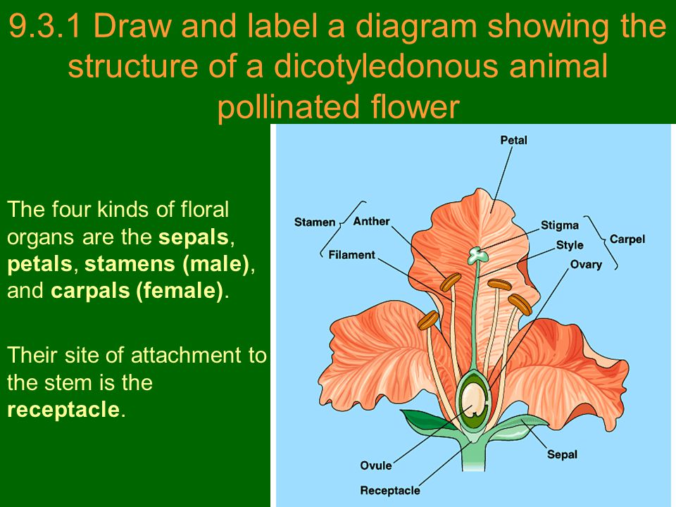 9.3.1 Draw and label a diagram showing the structure of a dicotyledonous animal pollinated flower