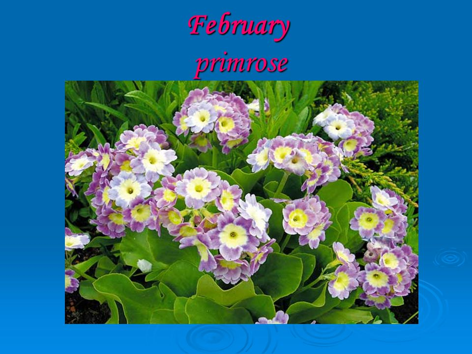 February primrose