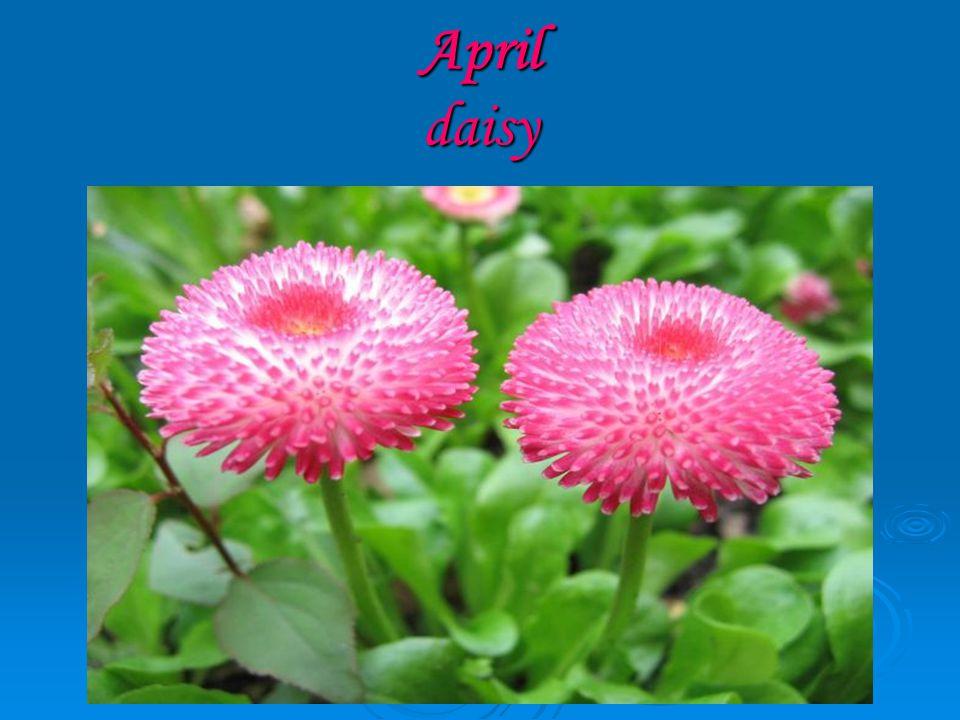 April daisy