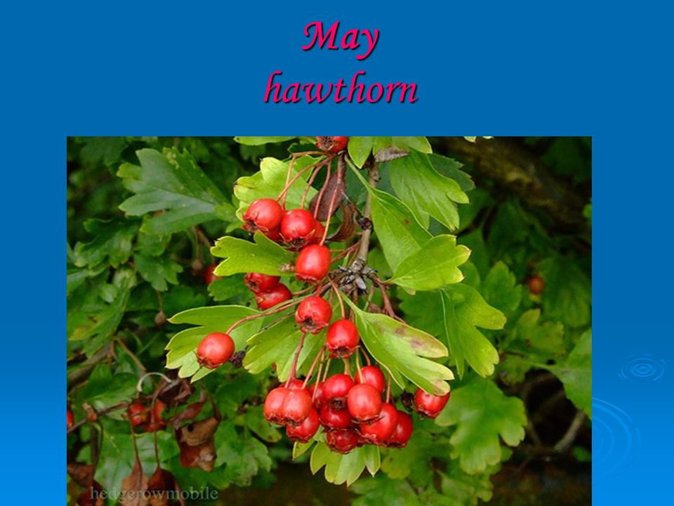 May hawthorn