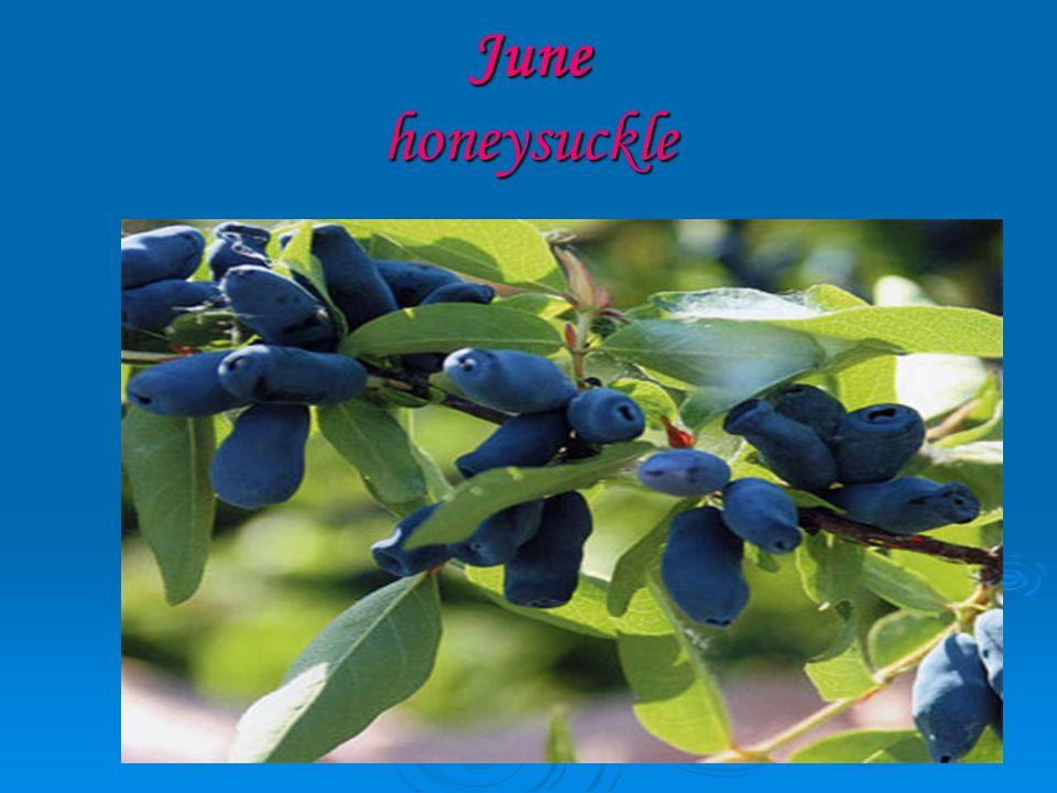 June honeysuckle
