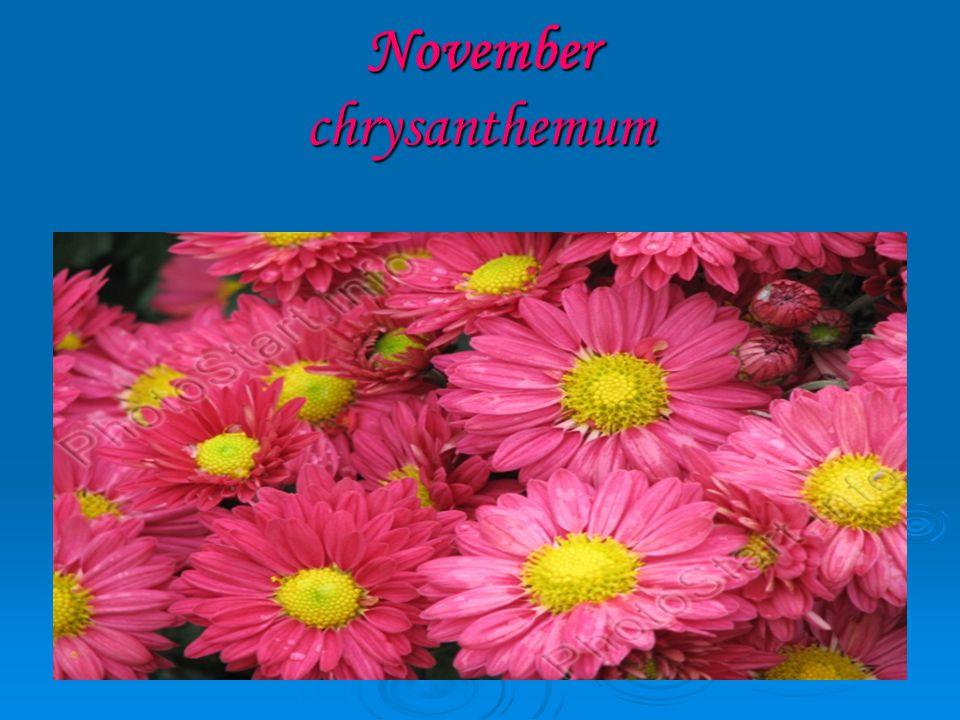November chrysanthemum