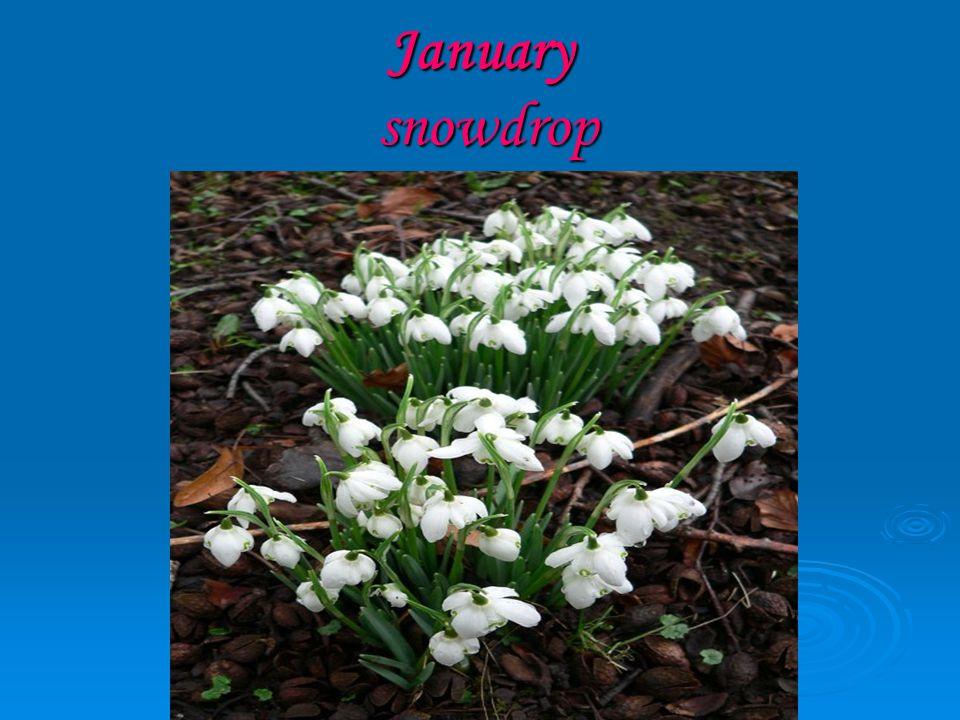 January snowdrop
