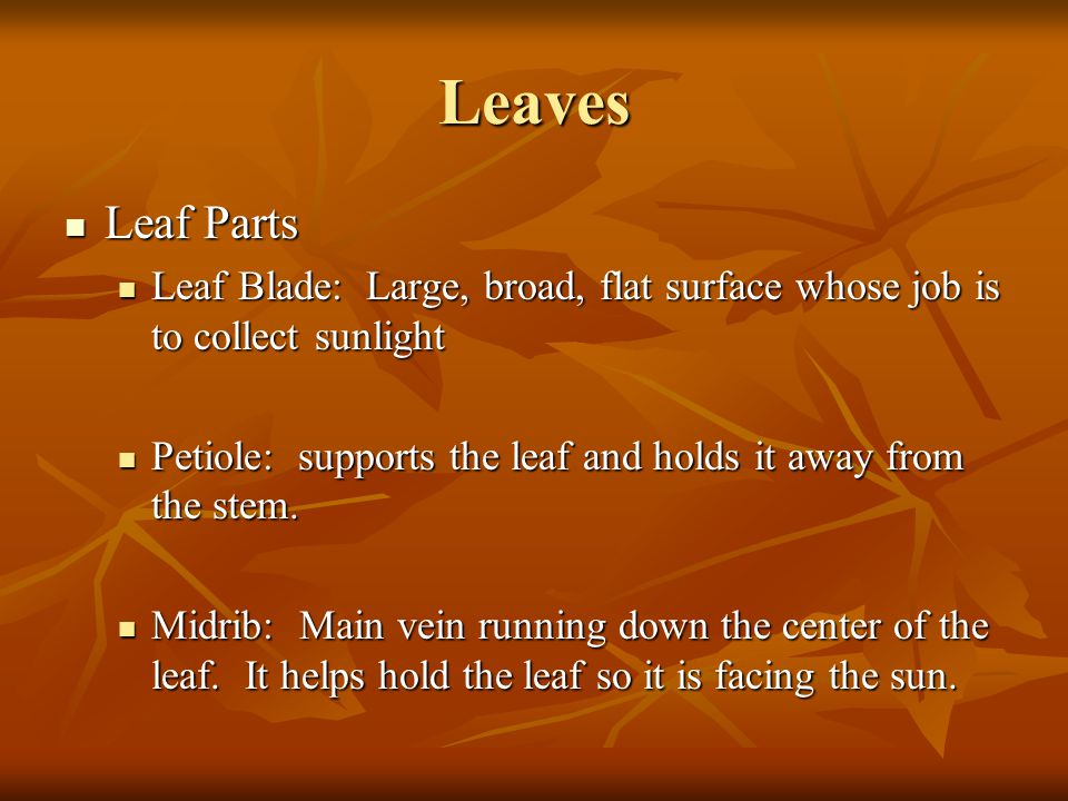 Leaves Leaf Parts. Leaf Blade: Large, broad, flat surface whose job is to collect sunlight.