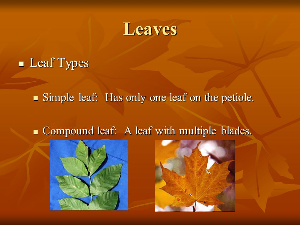 Leaves Leaf Types Simple leaf: Has only one leaf on the petiole.