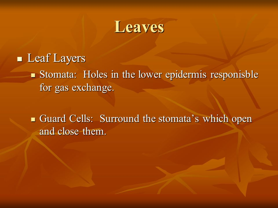 Leaves Leaf Layers. Stomata: Holes in the lower epidermis responisble for gas exchange.
