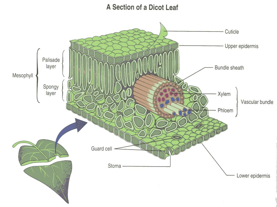 Leaf Layers