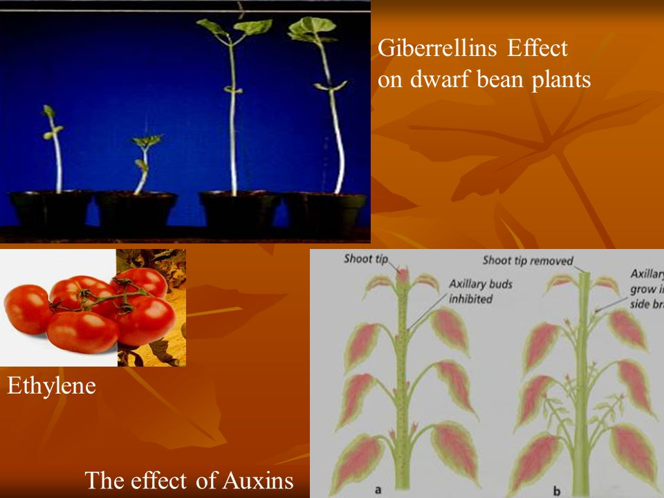 Giberrellins Effect on dwarf bean plants