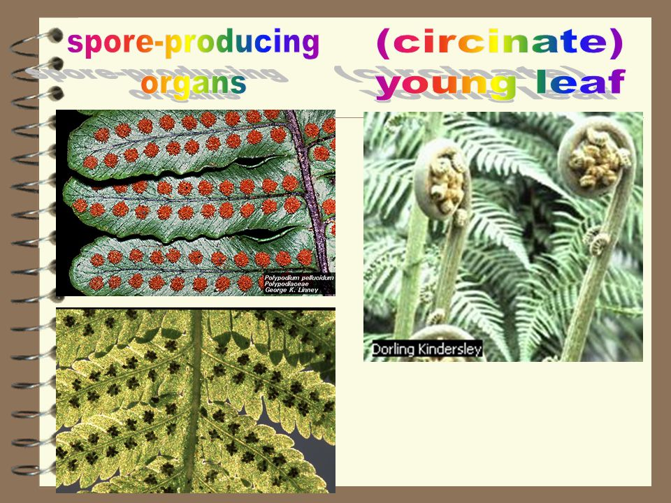 spore-producing organs (circinate) young leaf