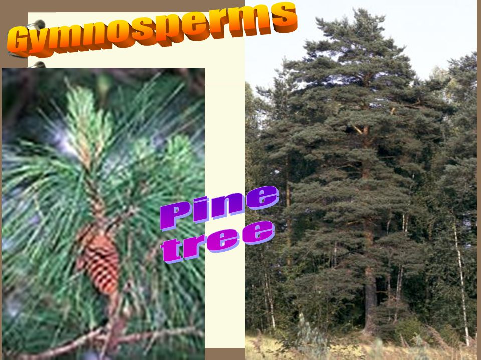 Gymnosperms Pine tree