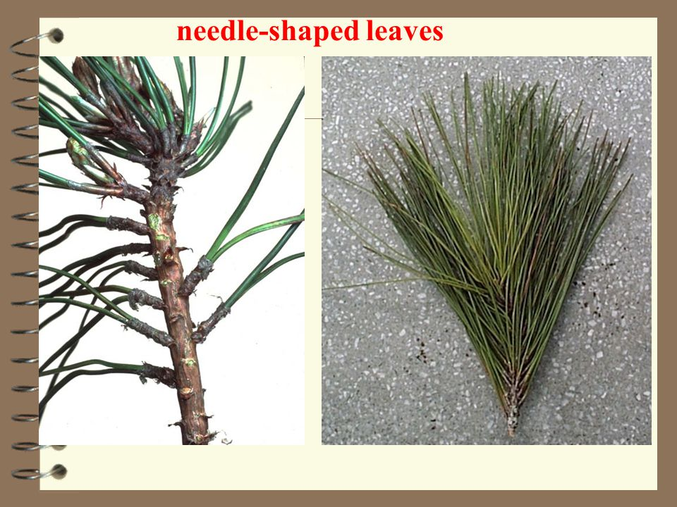 needle-shaped leaves