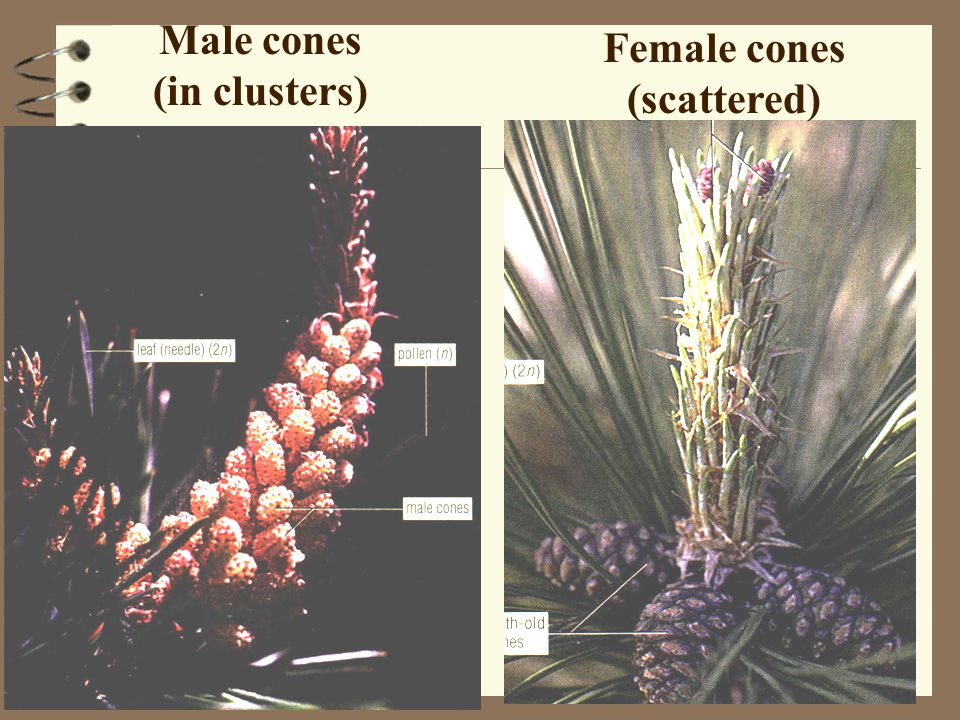 Male cones (in clusters) Female cones (scattered)