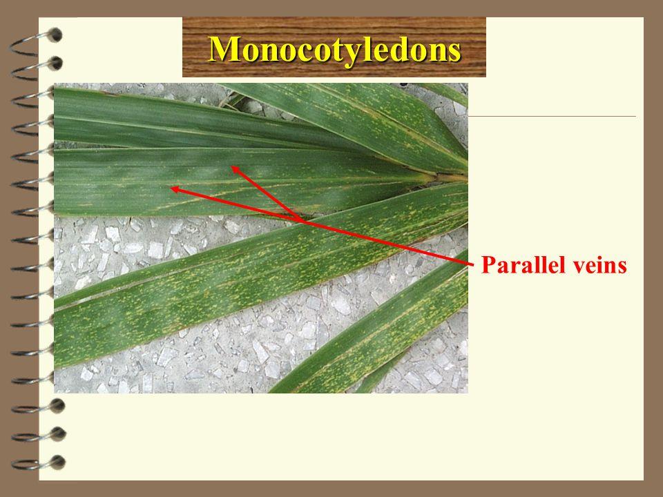 Monocotyledons Parallel veins