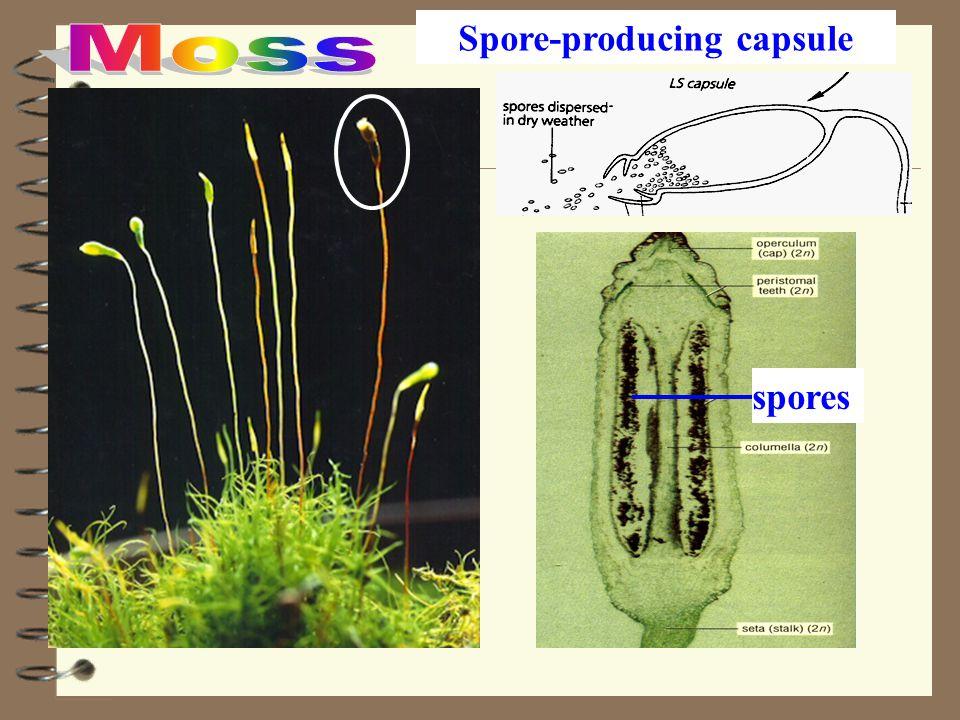 Spore-producing capsule