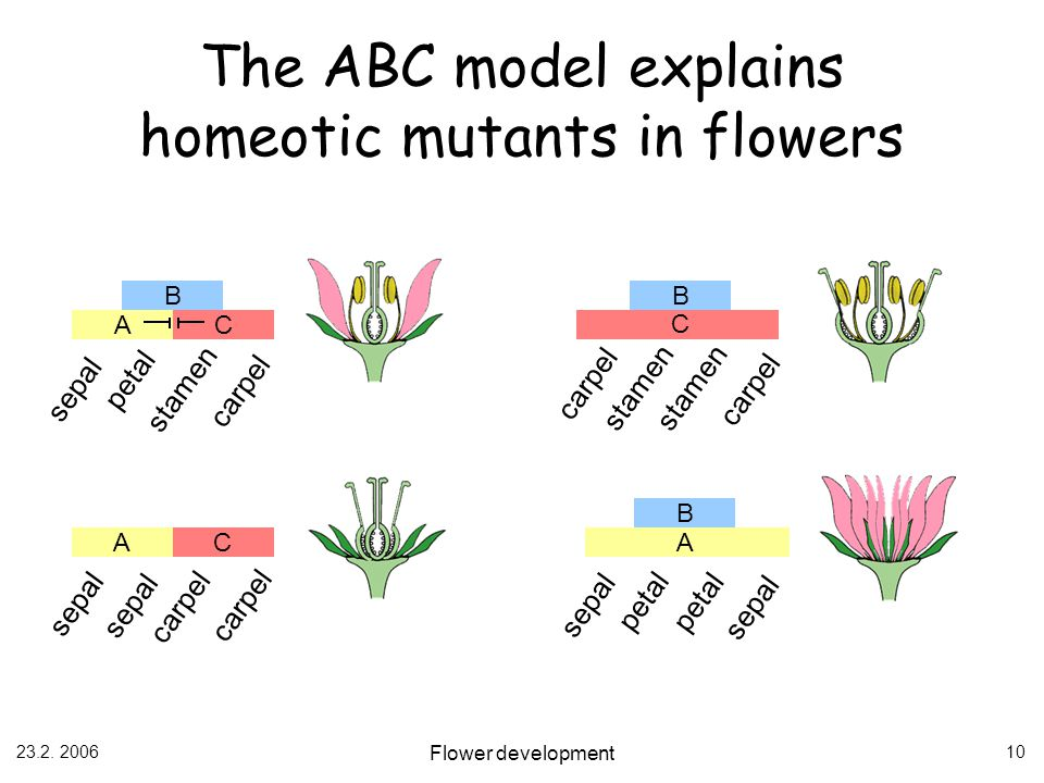 The ABC model explains homeotic mutants in flowers