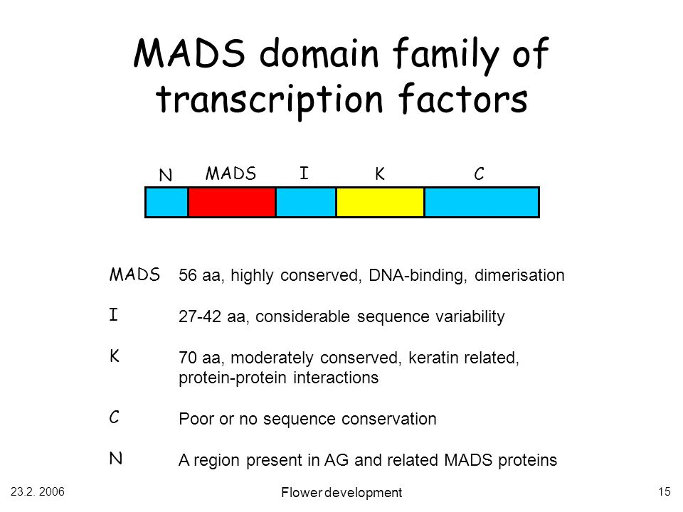 MADS domain family of transcription factors