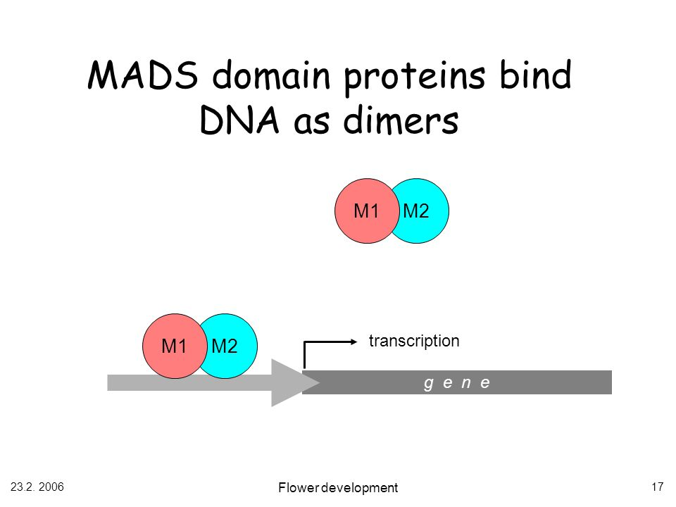 MADS domain proteins bind DNA as dimers