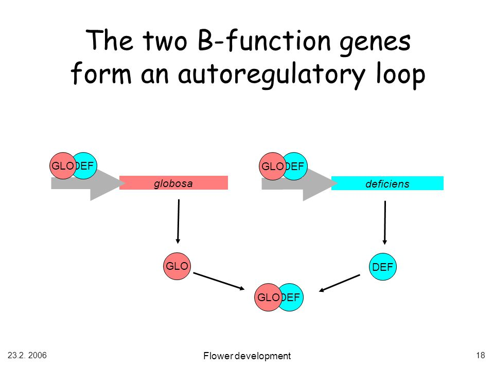 The two B-function genes form an autoregulatory loop