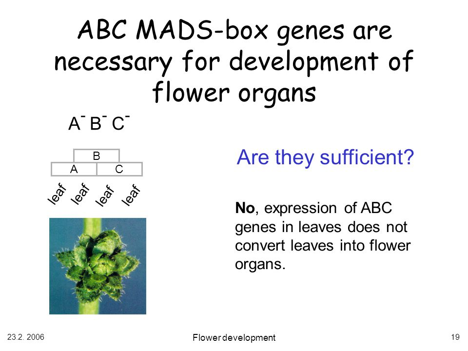ABC MADS-box genes are necessary for development of flower organs