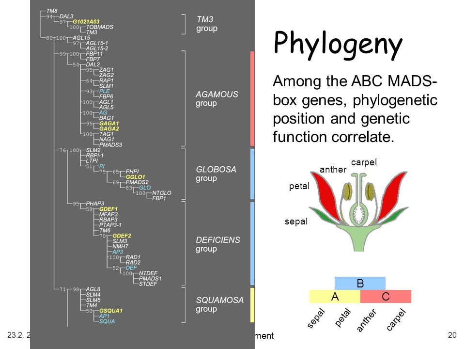 Phylogeny Among the ABC MADS-box genes, phylogenetic position and genetic function correlate. sepal.