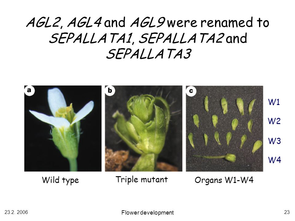 AGL2, AGL4 and AGL9 were renamed to SEPALLATA1, SEPALLATA2 and SEPALLATA3
