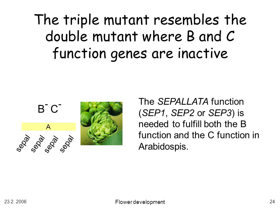 The triple mutant resembles the double mutant where B and C function genes are inactive