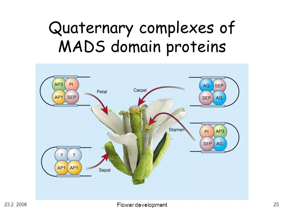 Quaternary complexes of MADS domain proteins