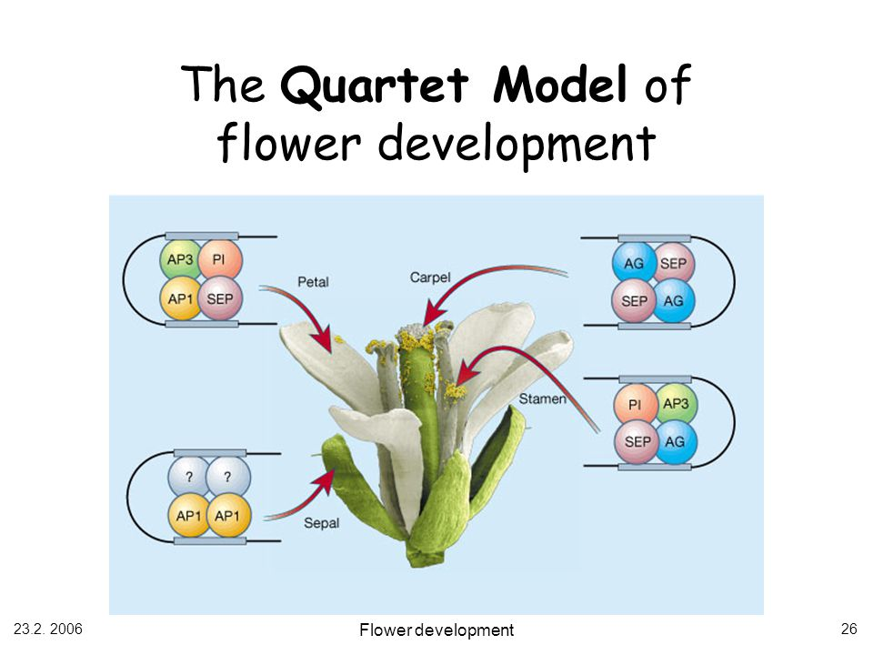 The Quartet Model of flower development