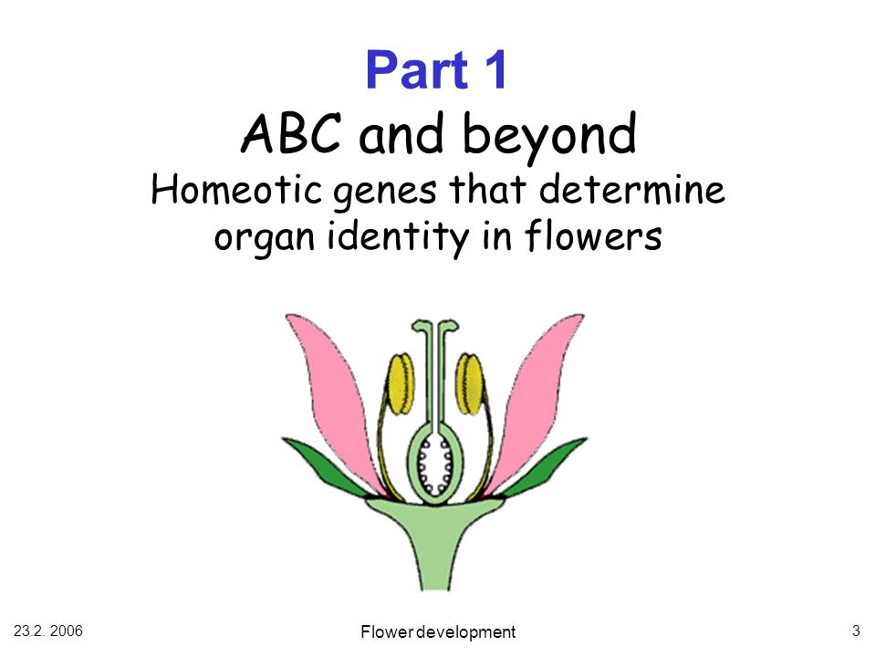 Part 1 ABC and beyond Homeotic genes that determine organ identity in flowers