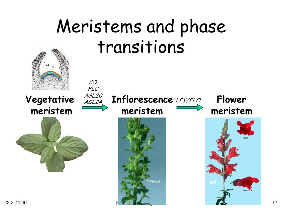 Meristems and phase transitions