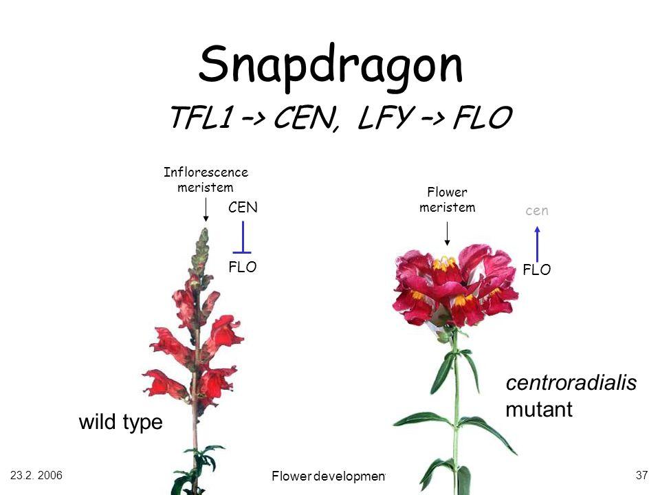 Snapdragon TFL1 –> CEN, LFY –> FLO
