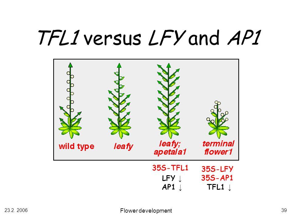 TFL1 versus LFY and AP1 35S-TFL1 35S-LFY 35S-AP1 LFY ↓ AP1 ↓ TFL1 ↓