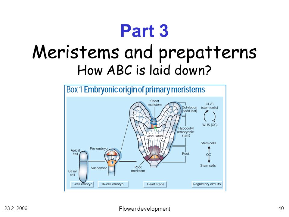Part 3 Meristems and prepatterns How ABC is laid down